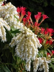 Pieris 'Forest Flame' - Marion Clarke