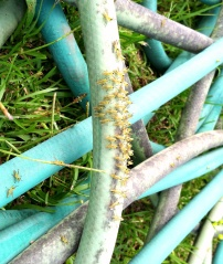 Baby Grasshoppers...they were not easy to spot!!