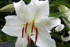 "Says L.S. about this picture: ""Here's one of my lilies that reminds me of a porn DAY OF THE TRIFFIDS."""