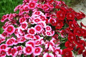 Sweet_William Flowers