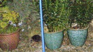 Oonah's hedgehog visitor.