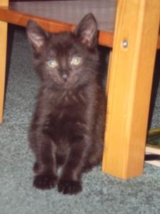 The author's kitten, looking intelligent.
