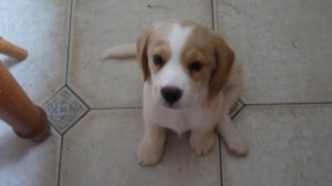 The author's puppy, doing his extra-cute face for the camera in case it decides to feed him.