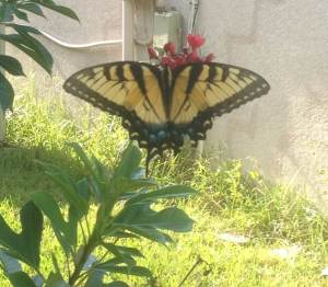 Tiger Swallowtail near the author's house