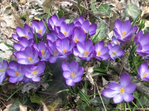 Kerry's crocus.