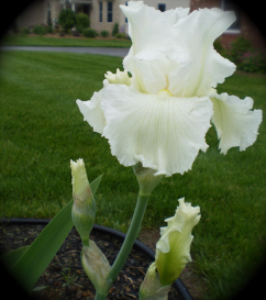 An iris she planted after first moving back to New England, with which she was quite pleased.