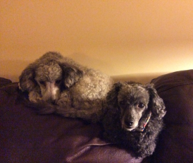 Lucey's two rescue poodles: Iris (black) and Lola (oddly ombre).