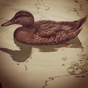 Mallard Duck Friend