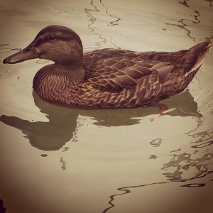 Mallard Duck Friend