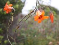 Coast Lilies